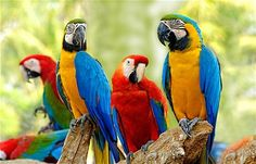 Beautiful Green Wing and Blue and Gold Macaws.