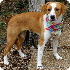 Gone  Please save this beautiful girl Maryville, TN - Hound (Unknown Type) Mix. Meet April a Dog for Adoption.