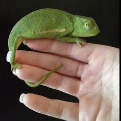 Action Figures Enthusiastic Chameleon Baby 19 Cm Series Unbelievable Creatures Safari Ltd 261029