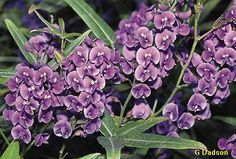 Hardenbergia violacea - Australian Native Plant available in climbing variety - nice for an arbour
