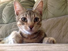 """FeLicks the rescue kitty is now a """"teenager"""". Consider adoption- many rewards!!!!"""