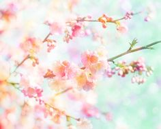 Nature Photography Cherry Blossom Spring Tree Flowers