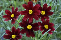 Coreopsis 'Red Elf' from Evergreen Nursery, Inc.  Photo courtesy of Walters Gardens, Inc.