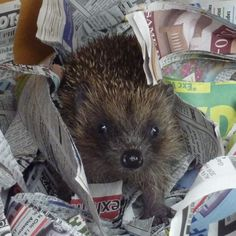 Wildlife Rescuers Appeal for help with young hedgehogs.