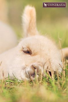 """I'm so tired... I'll just close my eyes for a second...maybe hour.  ;)"" baby alpaca"