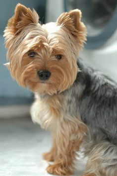 Yorkie Kreuzstichmuster, Kreuzstichmuster, Yorkie M.You can find Yorkie and more on our website. Perros Yorkshire Terrier, Yorkshire Terrier Haircut, Yorkshire Dog, Yorky Terrier, Yorshire Terrier, Top Dog Breeds, Yorkie Puppy, Baby Yorkie, Poodle Puppies