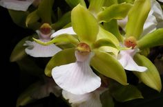 orchids - Zygopetalum Helen Ku x Zygoneria Hybride, @ Nurelias