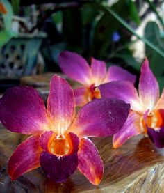 "Orchids Preserved 3"" Sophia Orange Purple Whole Flowers (30 flowers) 30 for $14.99"