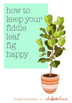Simple Natural Living: How To Care For An Indoor Fiddle Leaf Fig