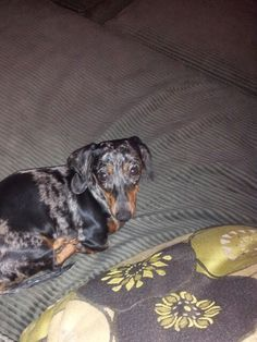 For the love of dachshunds!