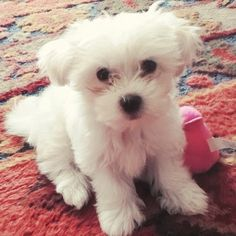 Maltese Dog-- YES PLEASE