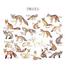 fox illustrations & names