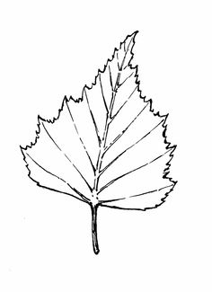 Gallery For > Birch Tree Leaf Drawing