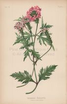 Aublets Verbena Verbena Aubletia Botanical Print Meehan 1879 Digital Image JPEG Download Printable