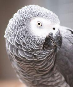 African Grey Parrot - EchoHealthy Pets