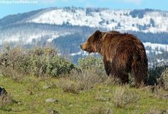A grizzly bear roaming in Yellowstone National Park in search of food.