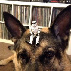 Let the power be with german shepherds! Stormtrooper taking a ride on German shepherds head.