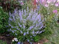 "Blue Mist Spirea Caryopteris x clandonensis 'Longwood Blue'  Detailed Plant Information    Plant Type: Shrub  USDA Hardiness Zone: 6a to 9b  Height: 36.0"" to 54.0""  Spread: 36.0"" to 48.0""  Light Exposure: Full Sun  Bloom Color: Blue, Purple  Bloom Time: Early Fall, Late Summer  Leaf Color: Green, Silver  Growth Rate: Average  Moisture: Dry to Moist  Soil Condition: Adaptable, Loamy, Sandy, Well Drained  Form: Upright  Landscape Uses: Border, Container, Foundation, Massing, Specimen"