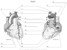 Anatomy of the Heart Worksheet - Bing images College Nursing, Nursing School Notes, Human Body Anatomy, Human Anatomy And Physiology, Heart Diagram, Rn School, Skeleton Anatomy, Heart Anatomy, Human Body Systems