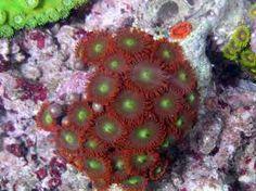 Saltwater Information – Polyp Corals Clove Polyp (Clavularia sp. Salt Water Fish, Salt And Water, Reef Aquarium, Saltwater Aquarium, Deep Blue Sea, Sea Fish, Underwater World, Under The Sea, Stars
