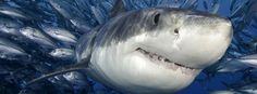 Peixes do tubarão e pouco
