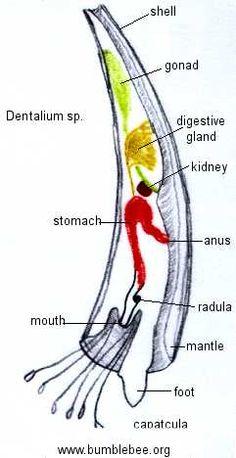 Life of dentalium