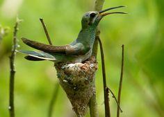 Foto beija-flor-de-bico-curvo (Polytmus guainumbi) por André Netto | Wiki Aves - A Enciclopédia das Aves do Brasil
