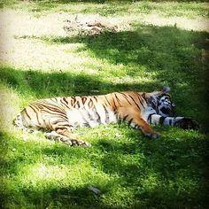#same #tiger #bigcat #animal #animalkingdom #disney #orlando #florida #wdw #instagood