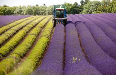 BoredPanda | harvesting lavender.