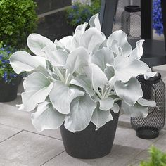 Senecio 'Angel Wings' (Senecio candicans) Eye-catching Senecio 'Angel Wings' has long, velvety leaves of silvery-white with scalloped leaf edges. This easy-to-grow succulent makes an attractive color contrast to the standard green foliage in t Unusual Plants, Exotic Plants, Cool Plants, Outdoor Plants, Garden Plants, House Plants, Potted Plants, Plants Indoor, Container Plants