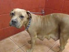 CALIFORNIA!!! LAST DAY!!! USED AND DISCARDED LIKE TRASH. IGNORED BY RESCUES. DOWNEY SHELTER, CA. (562) 940 6898 Animal ID: A4848358 I don't have a name yet and I'm an approximately 2 year old female pit bull. I am not yet spayed. I have been at the Downey Animal Care Center since June 25, 2015. I will be available on June 29, 2015. You can visit me at my temporary home at D436…