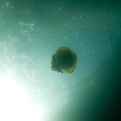 ITAP of a jellyfish at my diving job. http://ift.tt/2caIExR