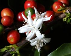 Arabica, the finest quality and most widely used species of coffee plant