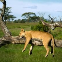 718d5640b3 A tree-climbing lion takes a quick cat nap at Serengeti National Park in  Tanzania. This great shot was taken by photographer Peter Banny.