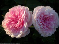 Rosa 'Clothilde Soupert' - Rosier nain