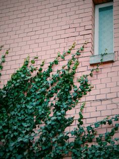 #ivy #green #wall