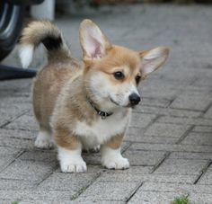 Corgi Woody - Corgi of the Day - Friday, October - As always, be sure to show him some love with your votes!Woody - Corgi of the Day - Friday, October - As always, be sure to show him some love with your votes! Cute Corgi, Corgi Dog, Cute Puppies, Dogs And Puppies, Corgi Tail, Teacup Puppies, Cute Baby Animals, Animals And Pets, Funny Animals