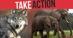Tell your senators to oppose Barrasso's bill and all efforts to rewrite the ESA. Endangered Plants, Endangered Species, Report Animal Abuse, Rare Species, Animal Protection, Create Awareness, Wildlife Conservation, Puppy Mills, Take Action