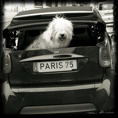 OLD ENGLISH SHEEPDOG DULUX DOG BLACK & WHITE ART PRINT Paris Street Photography
