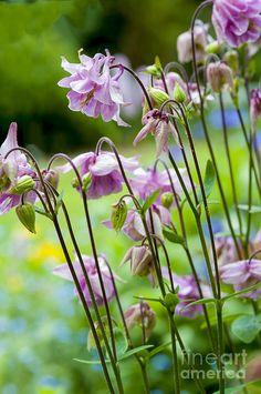 Aquilegia mooie schaduwplant als onderbeplanting /overgang tuin naar bos