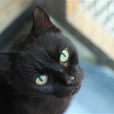 Jack Black Cat Rehoming Adoption Wood Green Animals Charity