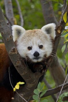 Red panda peeks through a tree at the San Diego Zoo.
