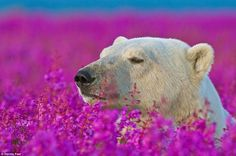 A sleepy looking bear is easy to spot in a field of fuschia fireweed, a plant that is native to the temperate Northern Hemisphere