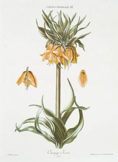 Fritillaria imperialis - Nature Illustrated: Flowers, Plants, and Trees, 1550-1900 (1989), by Bernard McTigue