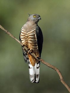 Pacific Baza.  It is found in coastal and subcoastal areas of northern and eastern Australia, Wallacea, New Guinea and adjacent islands.
