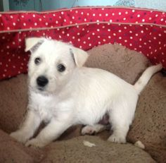 The West Highland White Terrier, also as other Scottish terriers, share comparable roots as well as the former is actually a very very good hunter of fox, vermin, and badger.