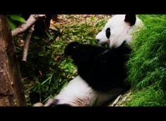 Panda in action #singaporezoo #panda