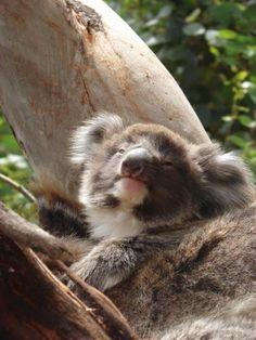 Baby Koala on Kangaroo Island, Australia   Traveldudes.org