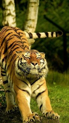 Big Cats, Cats And Kittens, Cute Cats, Animals And Pets, Funny Animals, Cute Animals, Baby Animals, Tiger Pictures, Animal Pictures