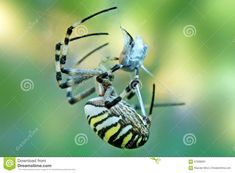 A Wasp Spider in Tuscany, Italy covering its victim  italy,spider,tuscany,victim,wasp,web,abdomen,animal,animals,arachnid,arachnida,arachnophobia,araneidae,arthropod,biodiversity,black,bug,carnivore,catch,catching